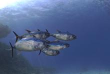 School Of Tuna Fishes Swimmin ...