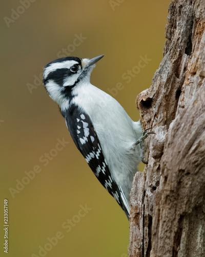 Cuadros en Lienzo Female Downy Woodpecker foraging on a dead tree stump