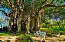 Banyan Tree With Big Roots And...