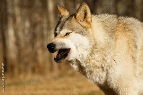 Scary looking yawning wolf in Yamnuska sanctuary, Canada