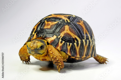 junge Indische Sternschildkröte (Geochelone elegans) - Indian star tortoise