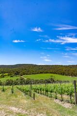 Fototapeta na wymiar  Vineyards Lead to Bush vert