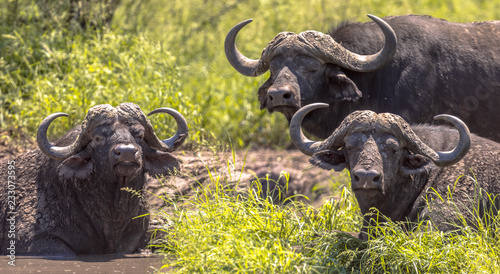 Canvas Prints Buffalo African buffalos bathing