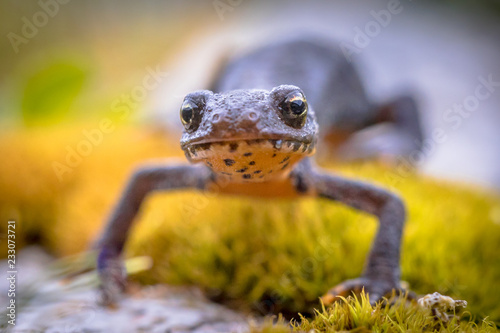 Alpine newt frontal on moss and rocks Wallpaper Mural