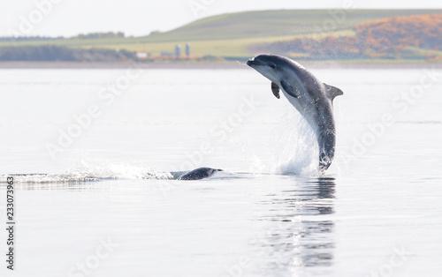 Fotografie, Obraz  Wild bottlenose dolphin tursiops truncatus.