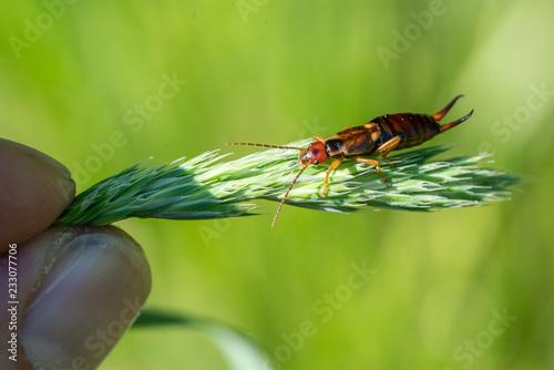 Fotografie, Obraz  Common earwig (Forficula auricularia) sitting on a grass spike