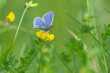 Common Blue Butterfly (Polyommatus Icarus) Sits On Yellow Blossom In The Meadow
