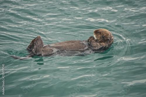 Photo  Kachemak Bay, Alaska, USA: A sea otter (Enhydra lutris), an entirely aquatic marine otter of North Pacific coasts, floating on its back