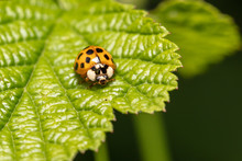 Harlequin, Asian Ladybeetle (Harmonia Axyridis) Sits On A Leaf