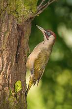 The European Green Woodpecker,...