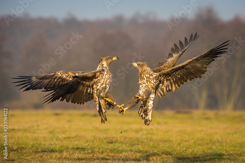 Photo  The White-tailed Eagles, Haliaeetus albicilla are fighting in autumn color environment of wildlife