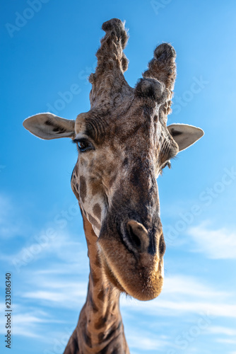 Portrait of a giraffe on a background of blue sky