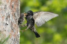 The Common Starling, Sturnus V...