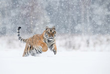 The Siberian Tiger, Panthera Tigris Tigris Is Running In The Snow, In The Background With Snowy Trees