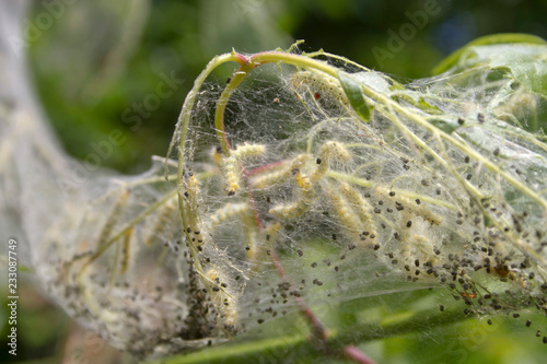 Larval Webworms Growing Togther in a Silken Web