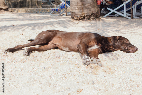 Fototapety, obrazy: Big broown dog relaxing on the beach with white sand.