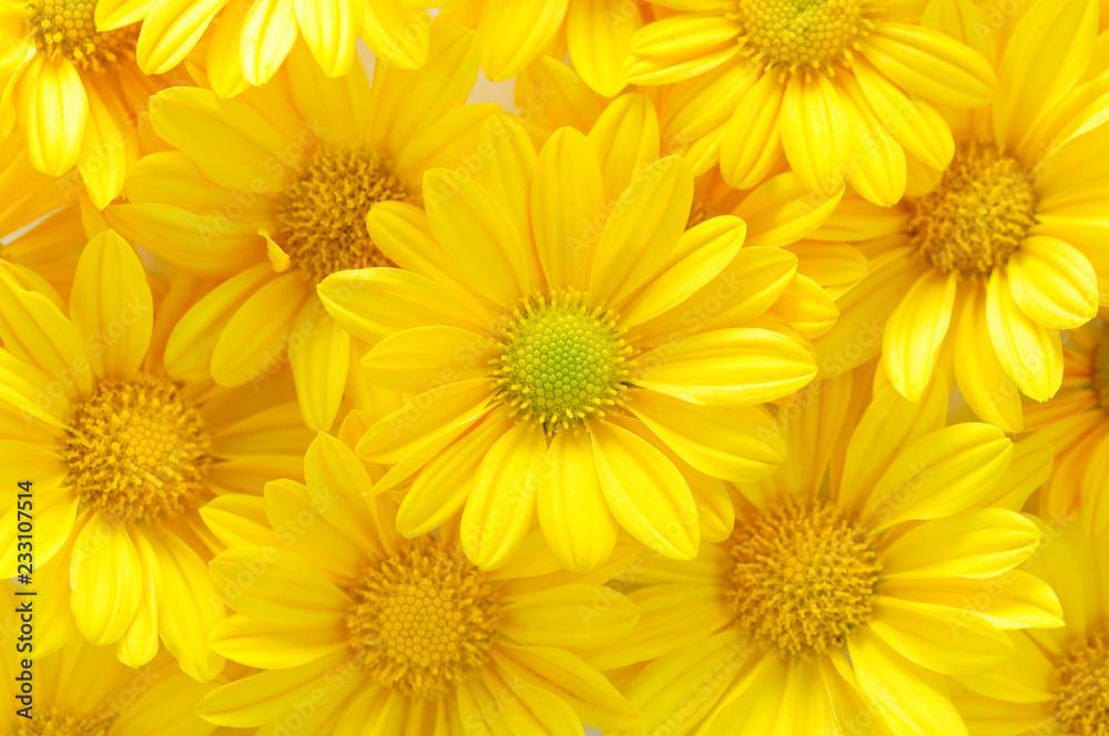 Fototapeta yellow chrysanthemum flowers