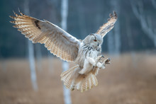 Eagle Owl Flying In The Forest...