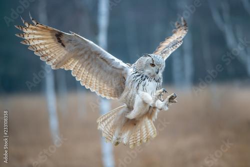 Fond de hotte en verre imprimé Chouette Eagle owl flying in the forest. Huge owl with open wings in habitat with trees. Beautiful bird with orange eyes.