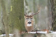 Large Whitetail Buck Behind Tree