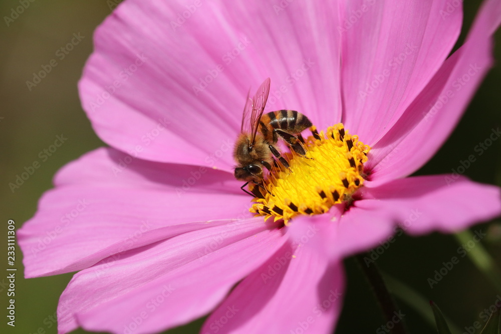 An African Honeybee drinking nectar from a pink Cosmos flower.