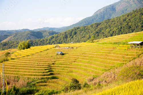 landscape view at yellow and green terraced rice field in Pa Pong Piang , Mae Chaem, Chiang Mai, Thailand .