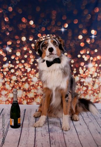 Fotografía  chien berger australien