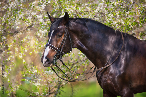 Fototapeta Bay stallion in bridle in spring blossom tree obraz