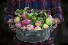 Midsection Of Woman Holding Zinc Tub With Freshly Harvested Apples