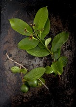 Overhead View Of Sprigs Of Guava Leaves And Unripe Fruit