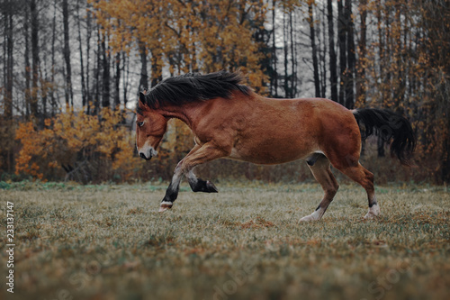 Poster Chien Bay horse runs in the autumn field