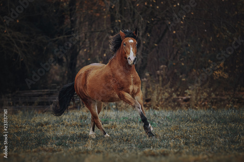 Fototapeta Bay horse runs in the autumn field