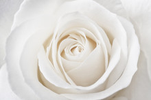 Beautiful Soft Fresh White Rose Close Up.