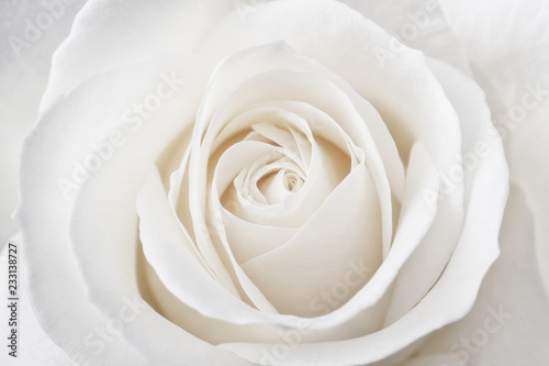 Fotografia Beautiful soft fresh white rose close up.