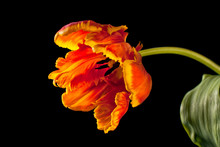 Fresh Blooming Parrot Tulip Isolated On Black Background.