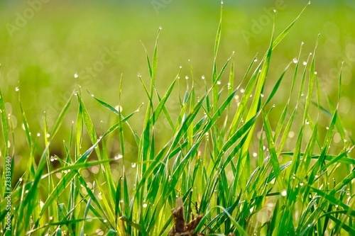 Cuadros en Lienzo Wheat crop background
