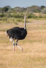 Common Ostrich (Struthio Camelus), Etosha National Park, Namibia, Africa