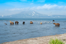 The Kamchatka Brown Bear Is A ...
