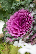 Flowering Decorative Purple-pink Cabbage Plant. Ornamental Kale. Natural Vivid Background. Ornamental Cabbages. Winter Flowers. Coloured Leaves Of Ornamental Cabbage Close Up.