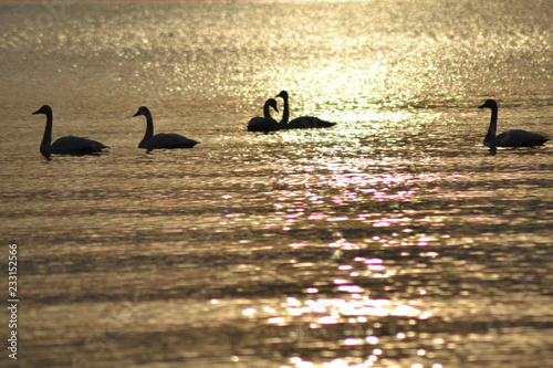 Fotografie, Obraz  swans gracefully swimming water