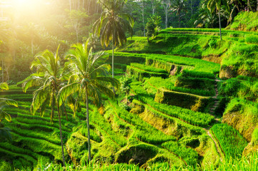 Rice terraces in the Asia