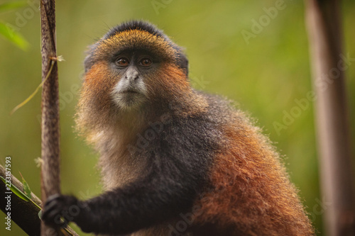 Fototapeta Wild and very rare golden monkey in the bamboo forest