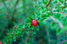Colorful Red Cotoneaster Bush Berry, Close Up, Blurred Green Background. Beautiful Autumn Cotoneaster Brunch With Berries, Holiday Traditional Decoration, Fall Autumn.
