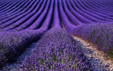 FototapetaLavender field in the summer. Flowers in the lavender fields in the Provence mountains.