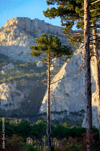 Spoed Foto op Canvas Bomen Beautiful pine trees on the background of mountains