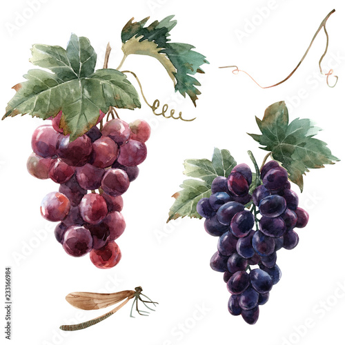 Fototapeta Watercolor grape set obraz