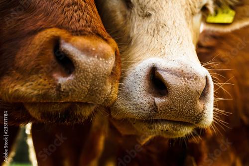 Foto Nahaufnahme von Mündern und Nasen von 2 Kühen