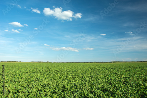 Beet field, horizon and blue sky