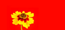 Yellow Red Orange Wild Flower Plains Coreopsis, Garden Golden Tickseed (Coreopsis Tinctoria) During Spring And Summer Closeup Macro Photo Isolated On Red Wide Banner Saturated Color Background.