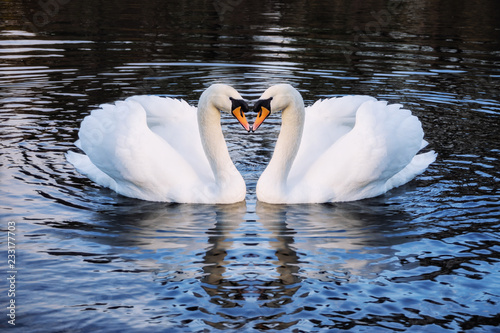 Fotobehang Zwaan Romantic two swans on a lake, symbol heart shape of love